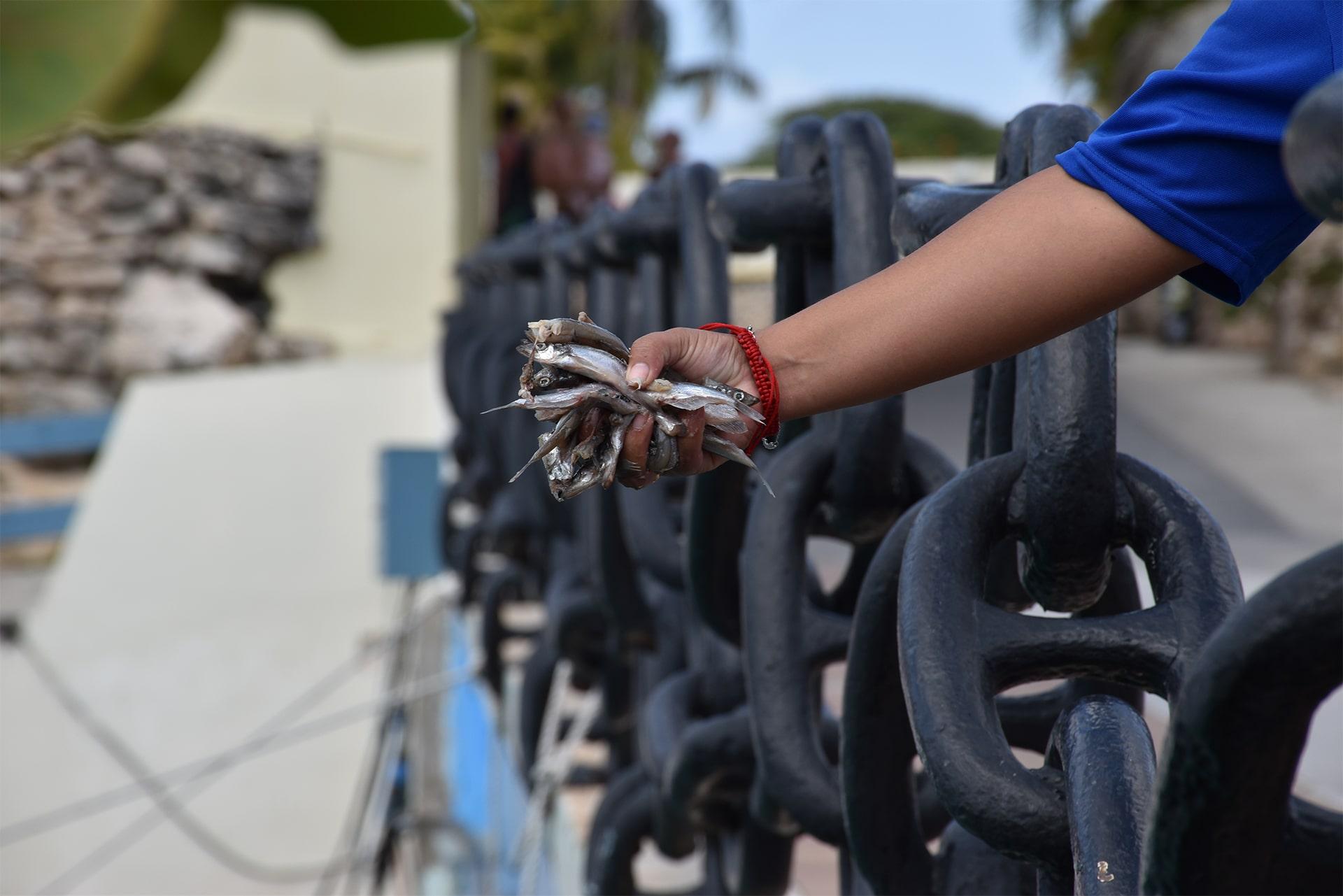 Medewerker Sea Aquarium Curaçao houdt vissen in de hand, wat de nul verspilling voedingscyclus in stand houd.