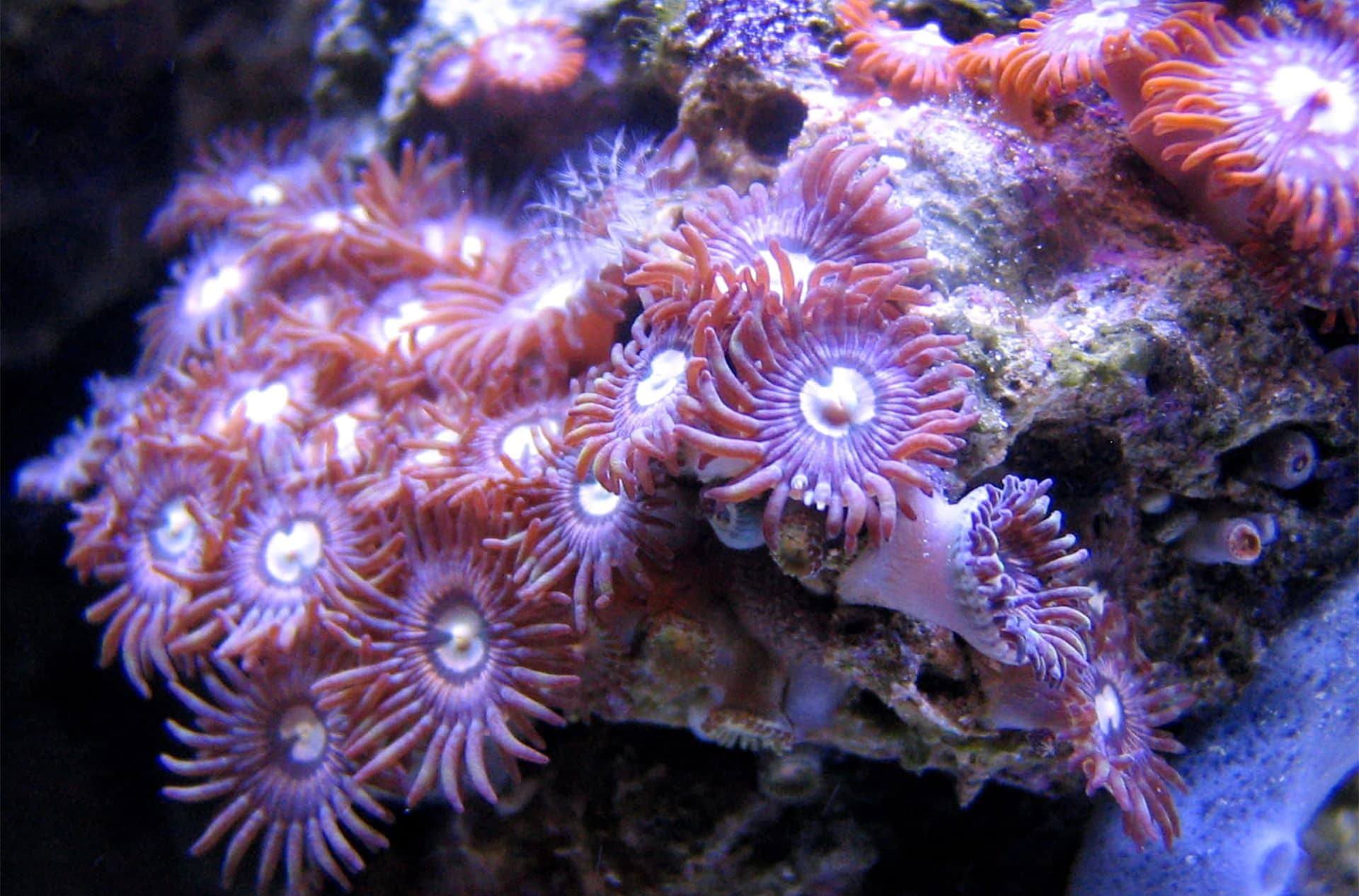 Curaçao Sea Aquarium is committed to allow species of soft corals to be grown healthy and strong in their care.